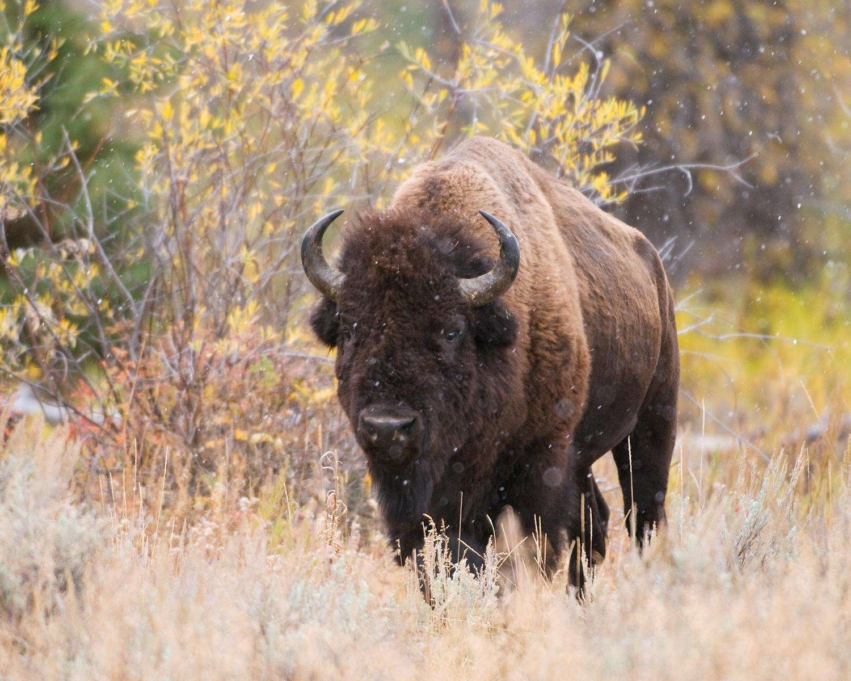 Bison, Snowfall and Fall color, Grand Teton National Park, Wyoming