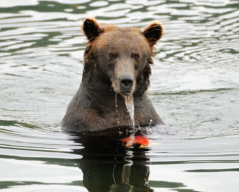 Brown Bear with Salmon, Brooks River, Katmai National Park, Alaska