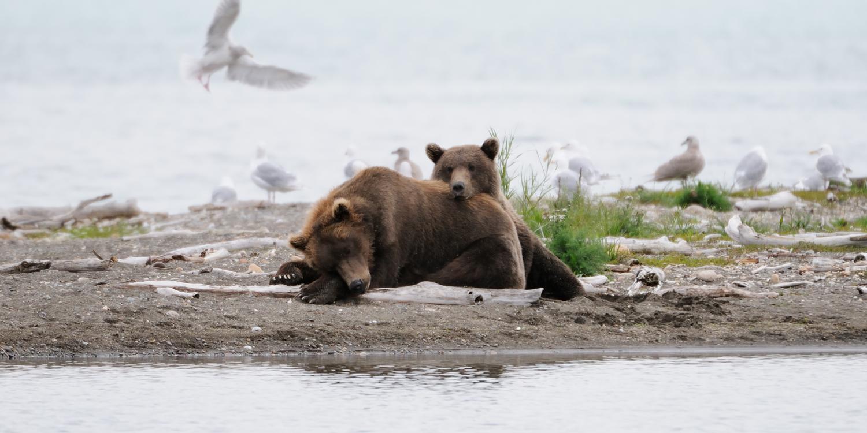 Brown Bear Cub and Sow Napping, Katmai national Park, Alaska