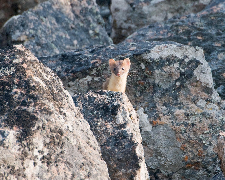 Ermine in Rocks, West Yellowstone, Yellowstone National Park, Montana