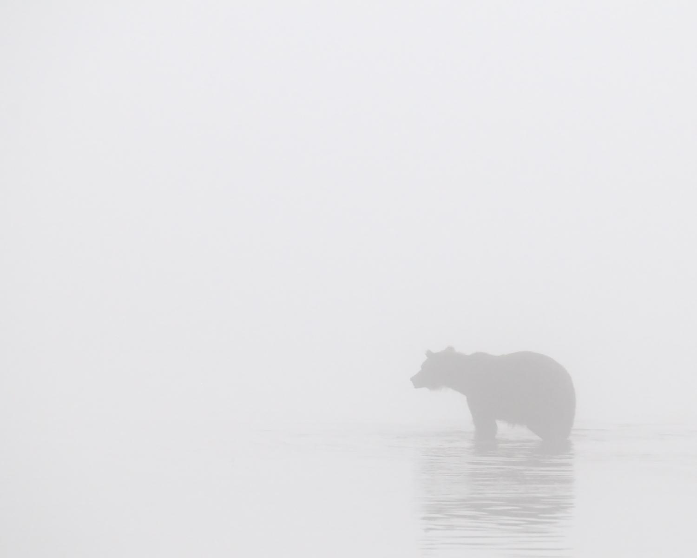 Ghost Bear, Brooks River, Katmai National Park, Alaska