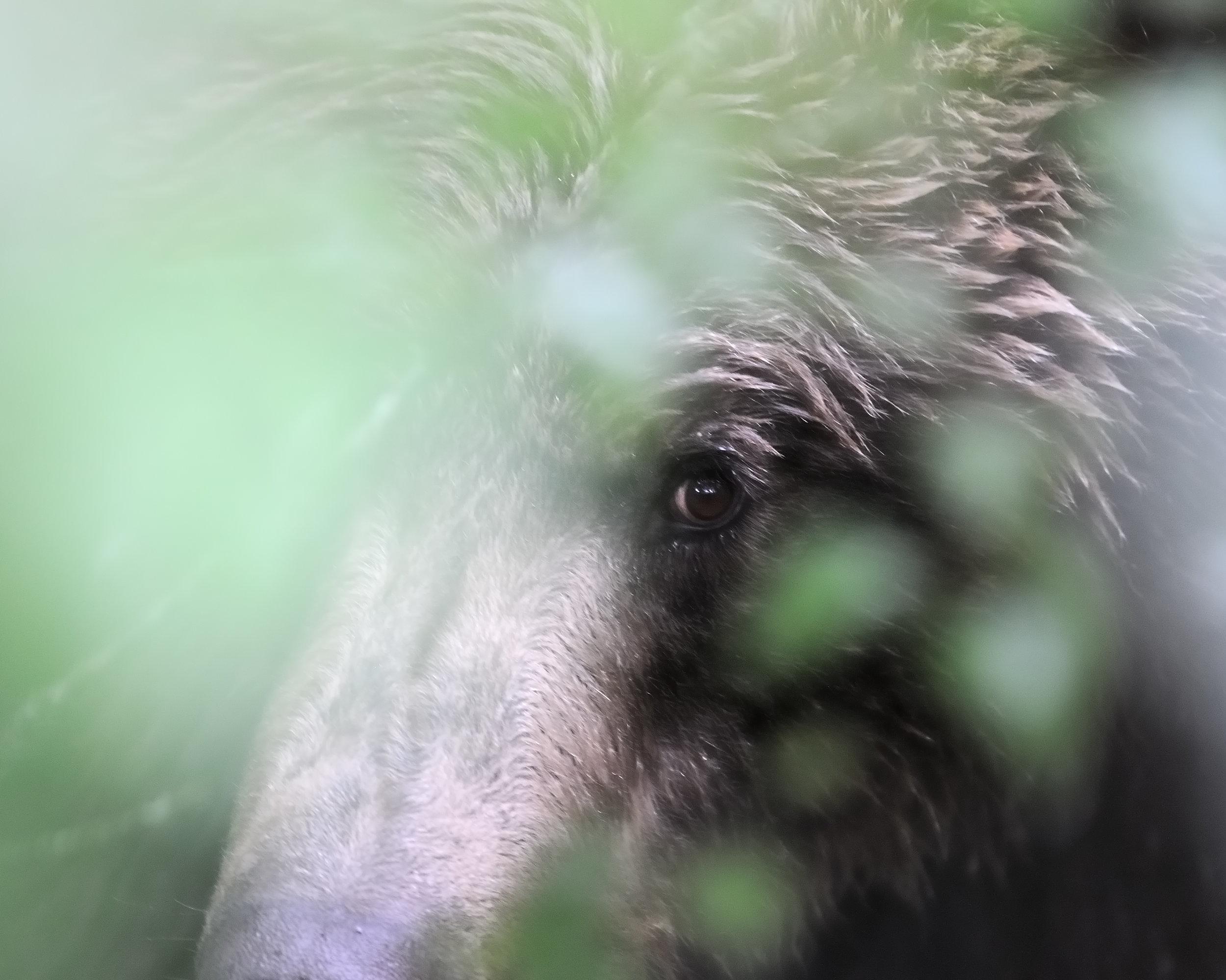 Eye in the Forest, Brooks River, Katmai National Park, Alaska
