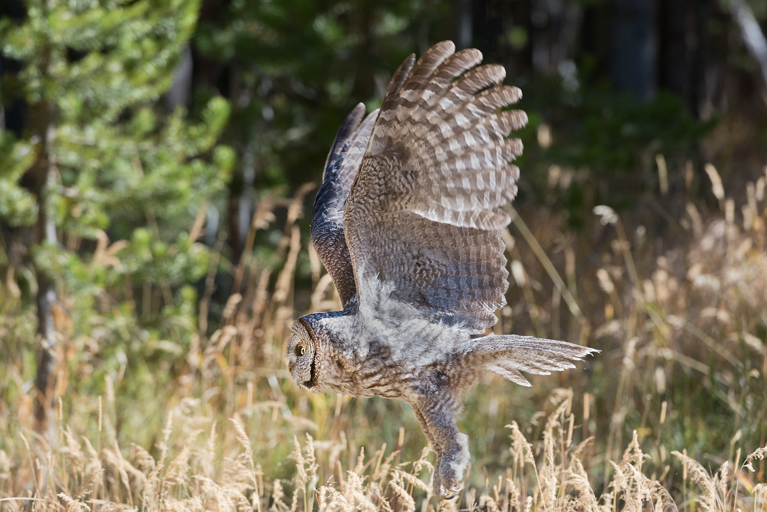 Great Grey owl Flying Side View, Yellowstone National Park, Wyoming