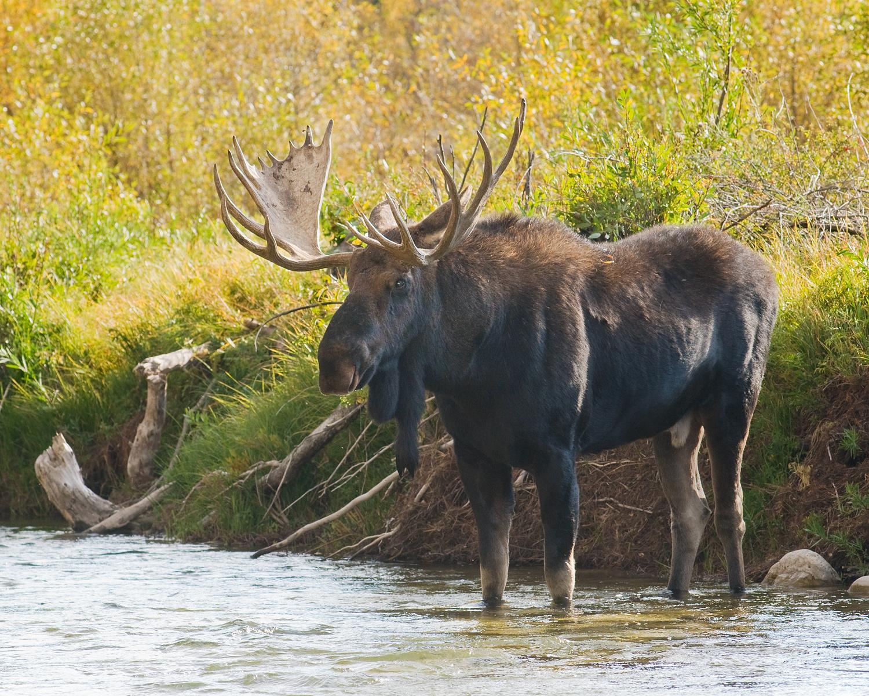 Bull Moose in Gros Ventre River, Fall Color, Grand Teton National Park, Wyoming
