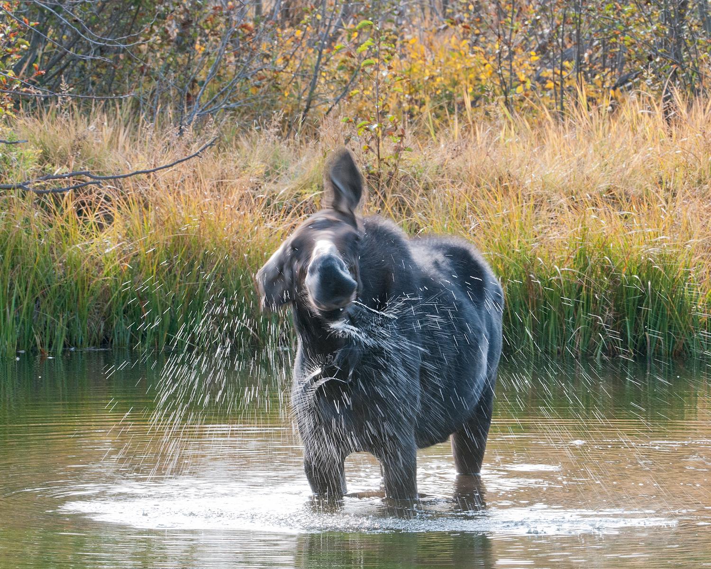 Moose Cow Shaking Off, grand Teton National Park, Wyoming