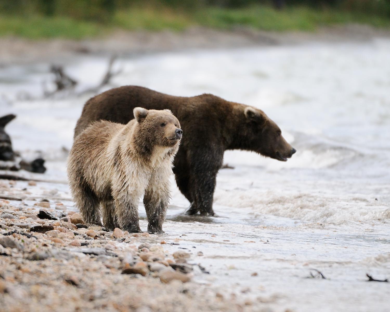 Brown Bear Cub and Sow on Beach, Brooks River, katmai national Park, Alaska