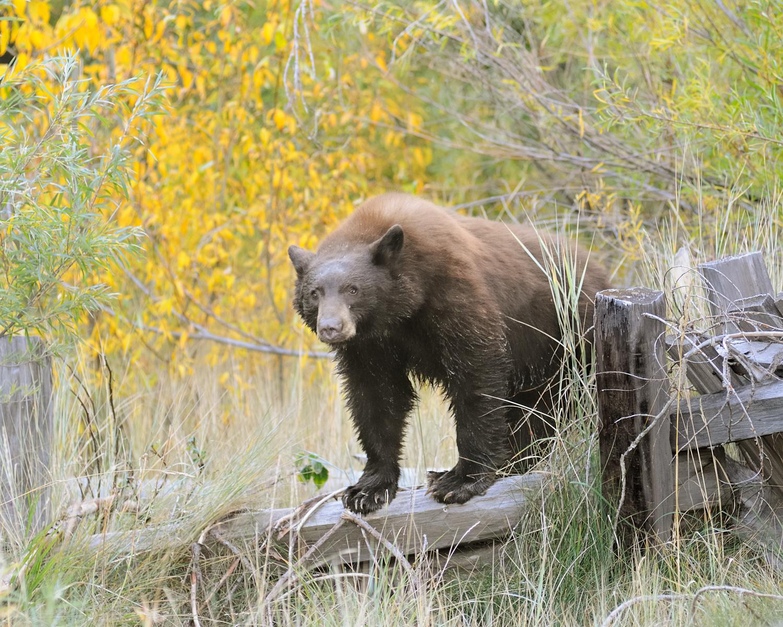Black Bear on Fence, fall color, Lake Tahoe