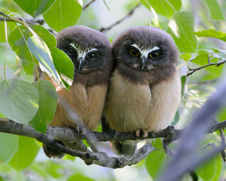 Northern Saw-Whet Owl Fledgelings in Aspens, Lake Tahoe