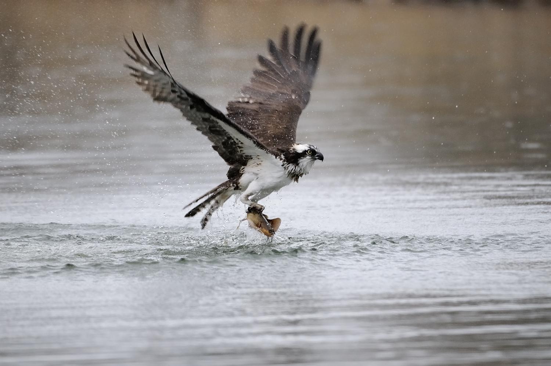 Osprey and Catfish, Lake Tahoe, Lake Tahoe