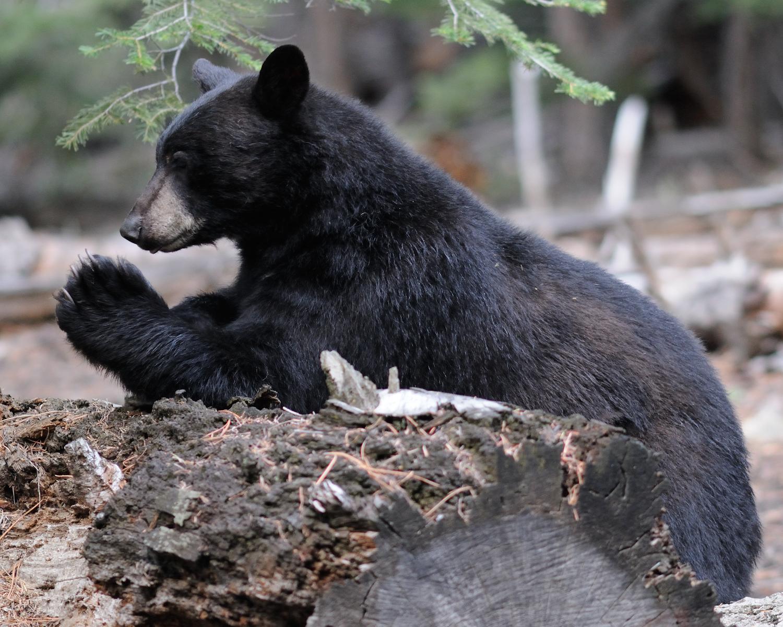 Praying Bear, Lake Tahoe