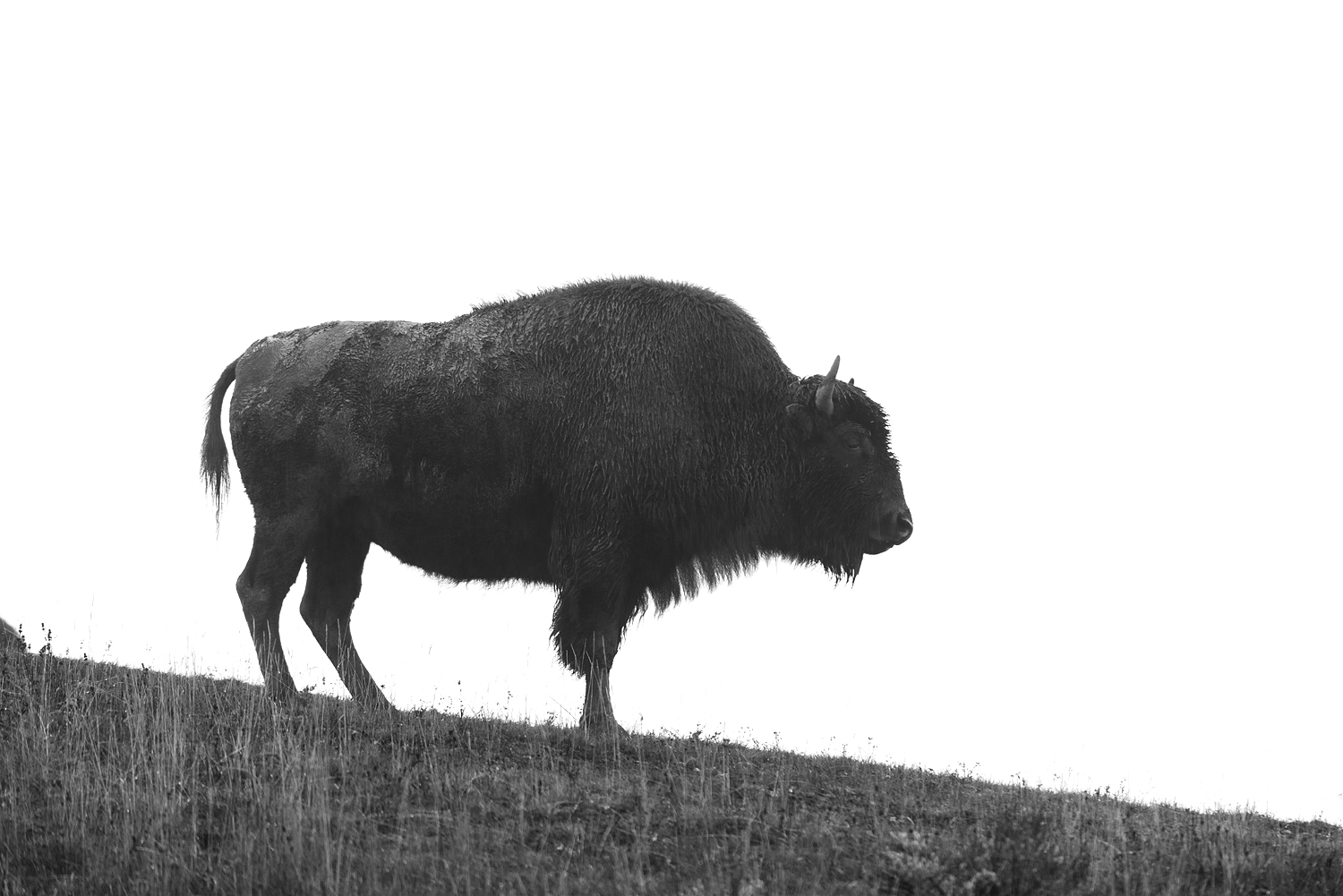 Bison on Hilltop, Black and White, Yellowstone National Park, Wyoming