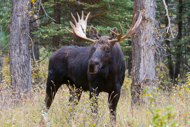 Bull Moose and cottonwoods, Gros Ventre, Grand Teton National Park, Wyoming