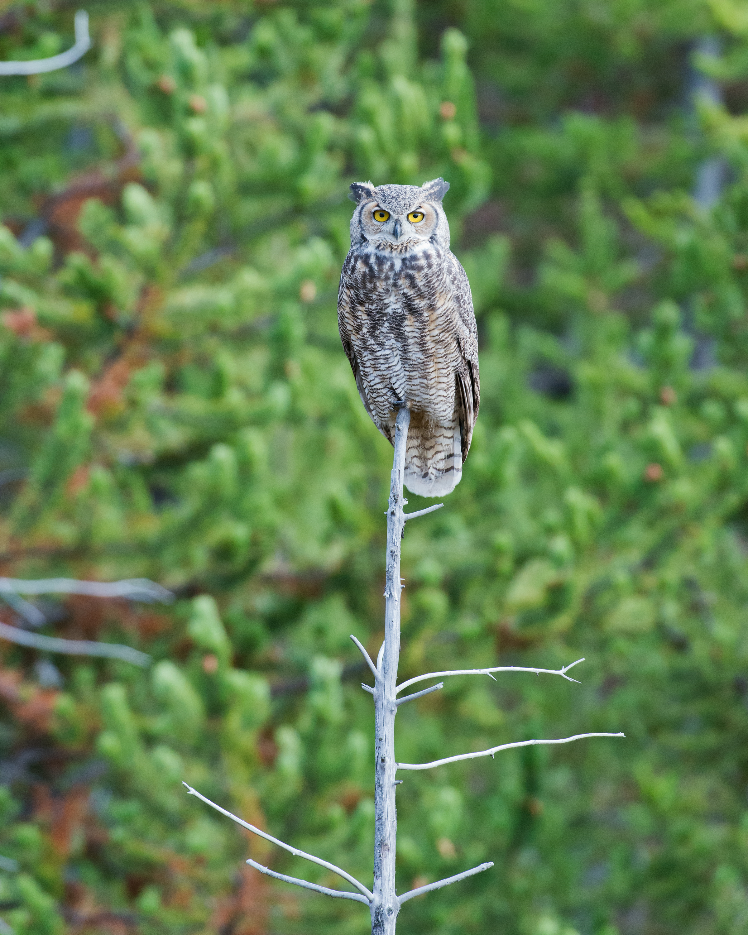 Great Grey Owl and Pines, Yellowstone National Park, Wyoming