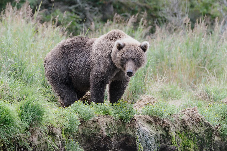 Sub Adult Grizzly in Grass, Brooks River, Katmai National Park, Alaska