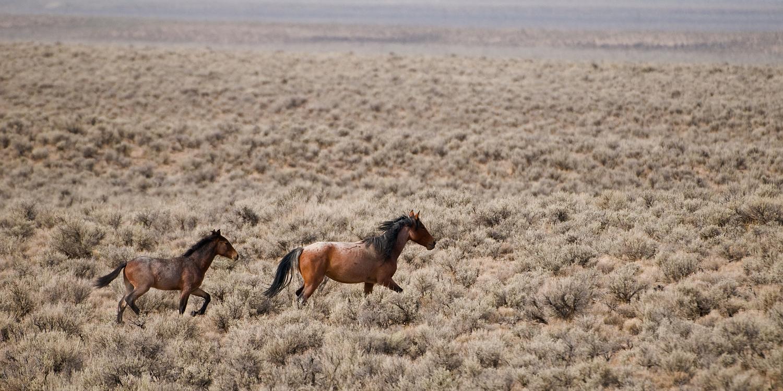 Wild Mare and Colt Running, Nevada Desert
