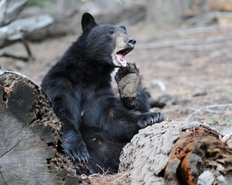 Sunday Morning, Black Bear, Lake Tahoe