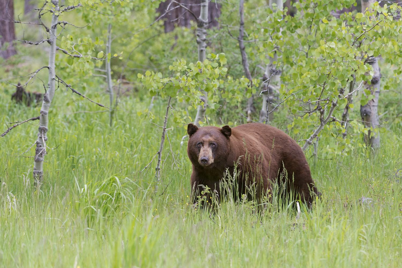 Black Bear in Spring Aspens