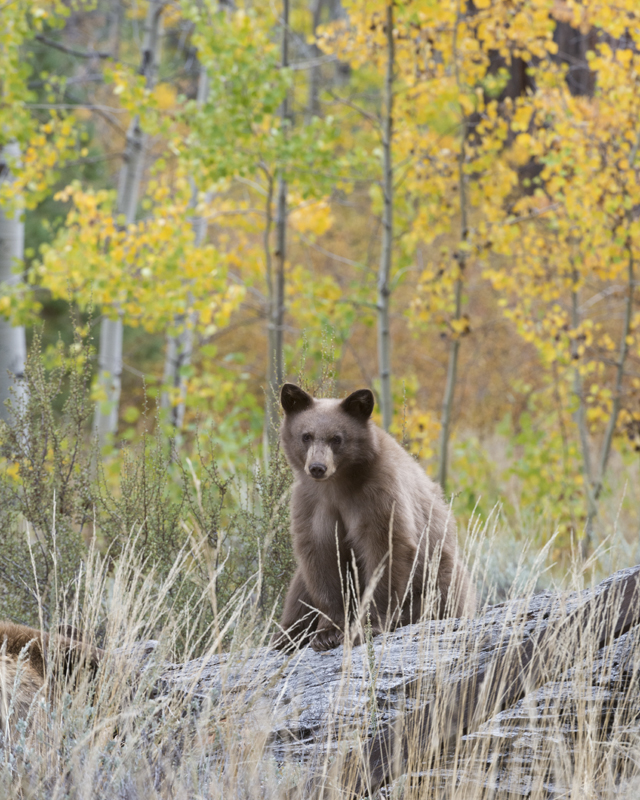 Bear Cub and Fall Aspens