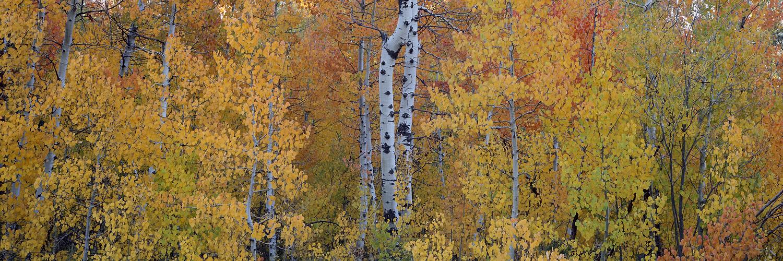Painters Palette Tahoe Aspens.jpg