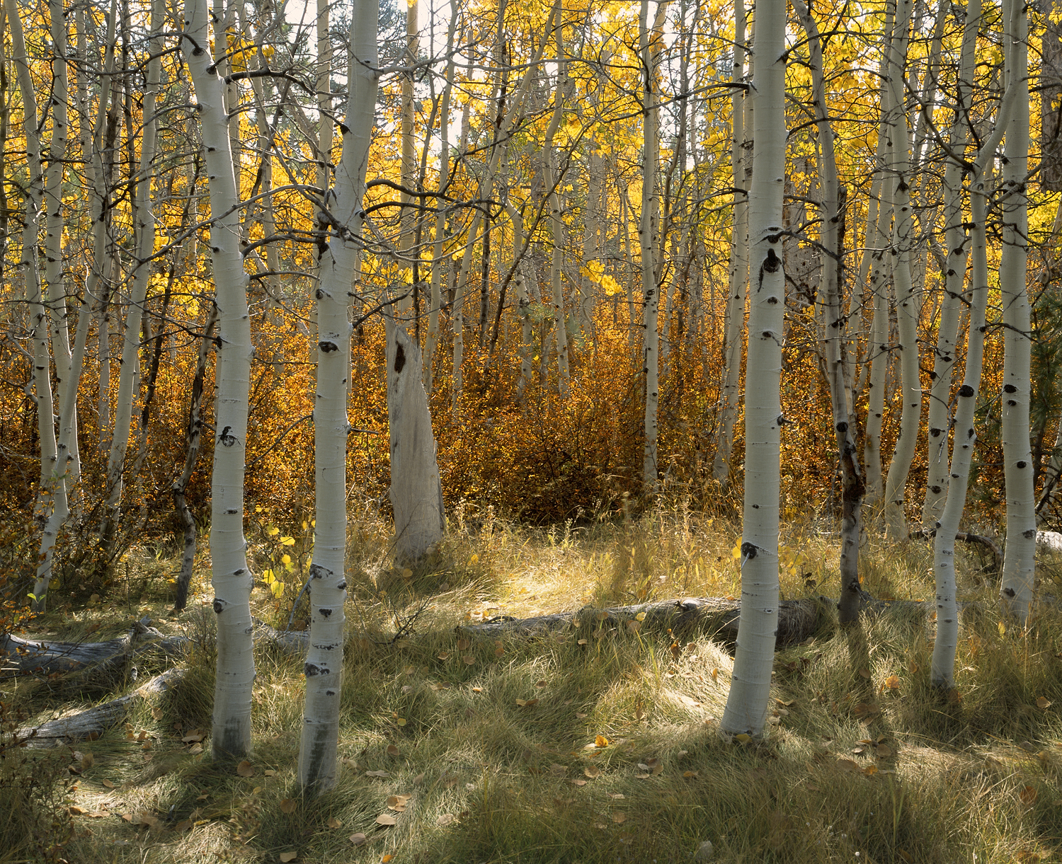 Late Fall in the Aspens