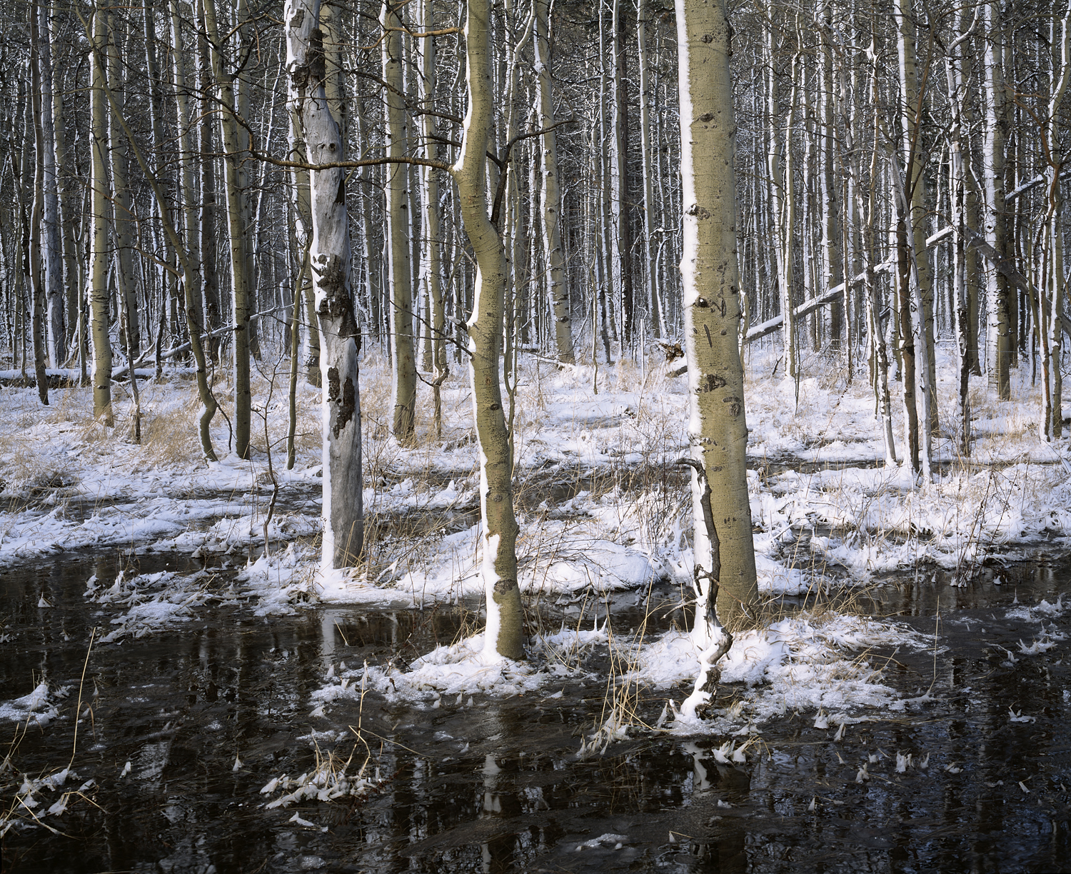 Aspens, Snow and Reflections (Color)