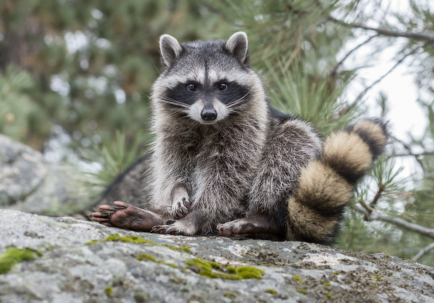 A young raccoon sits and prepares to clean himself. Don't mind me:)