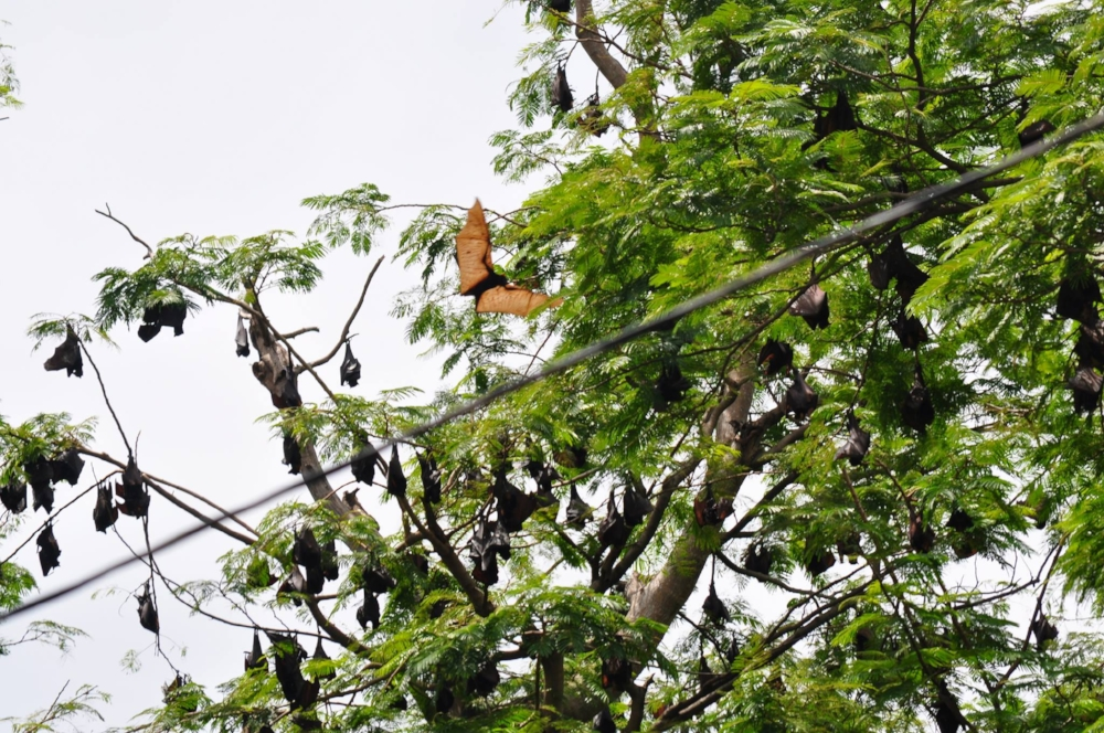 Philippine giant fruit bats in a tree