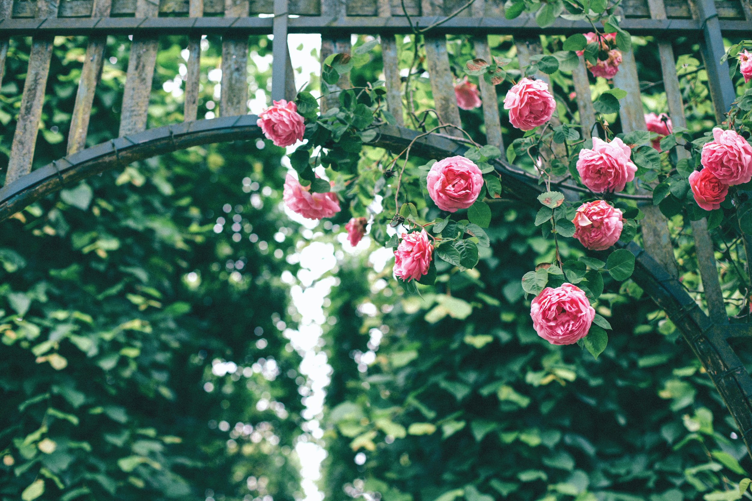 garden with pink roses