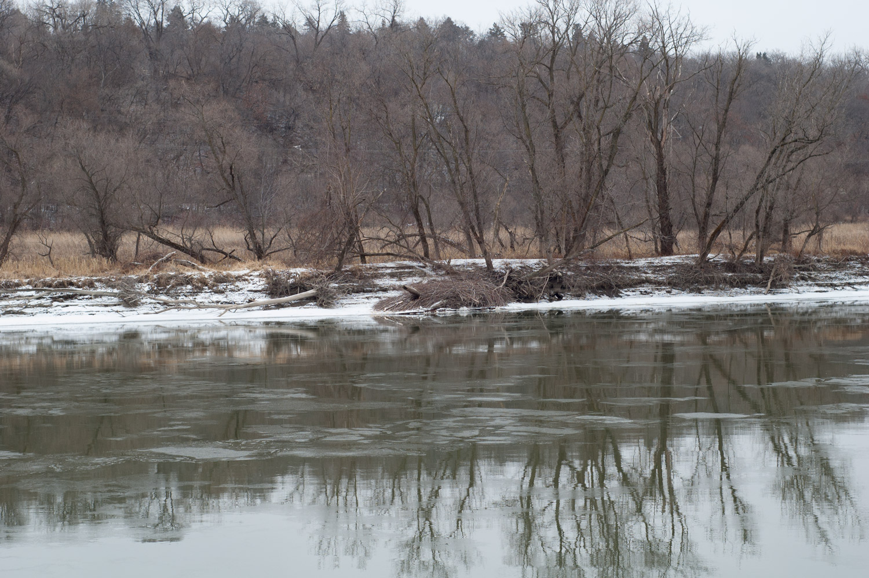 Minnesota River beaver lodge near Mendota bridge