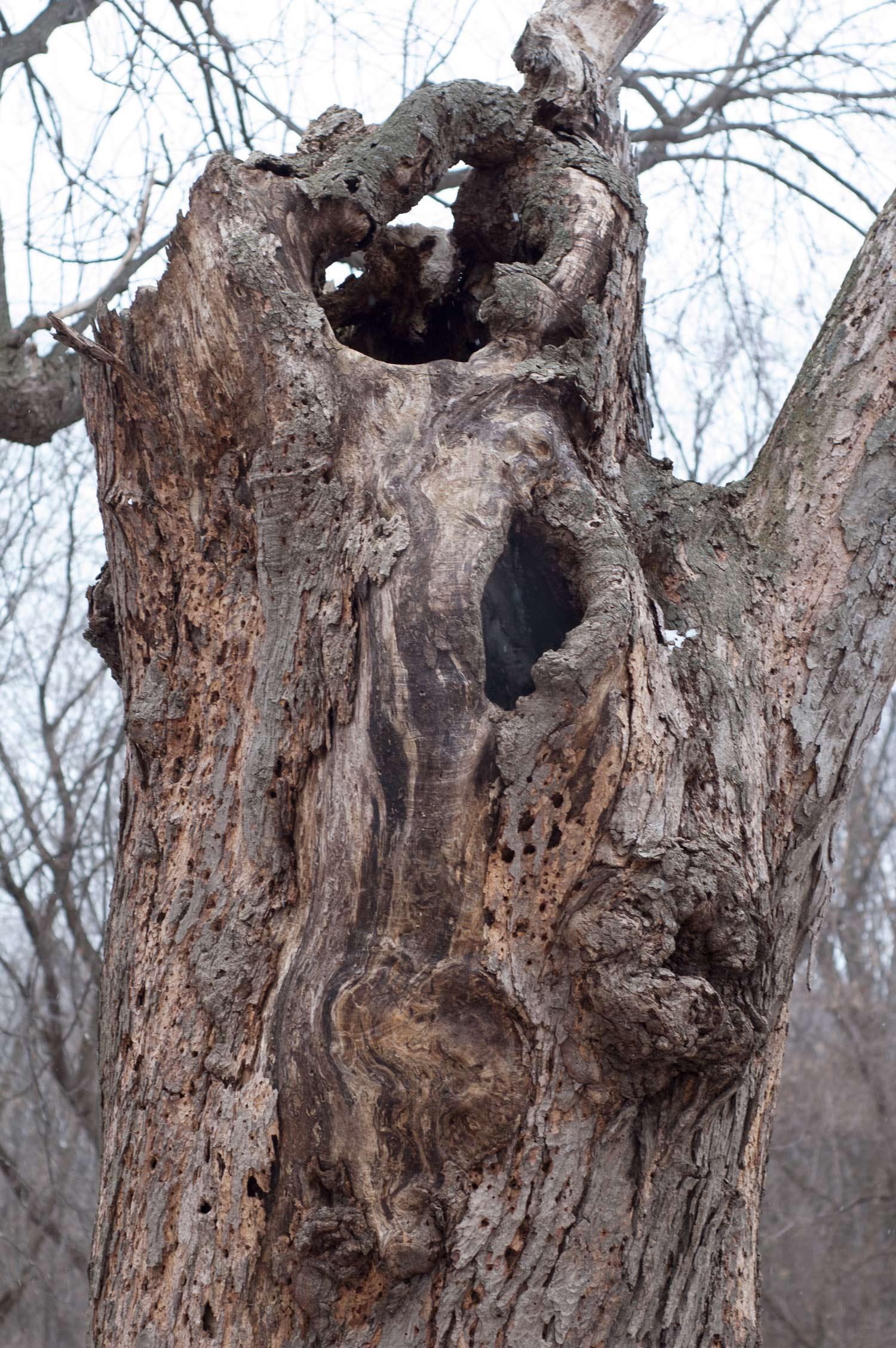 Silver Maple (Acer saccharinum) snag