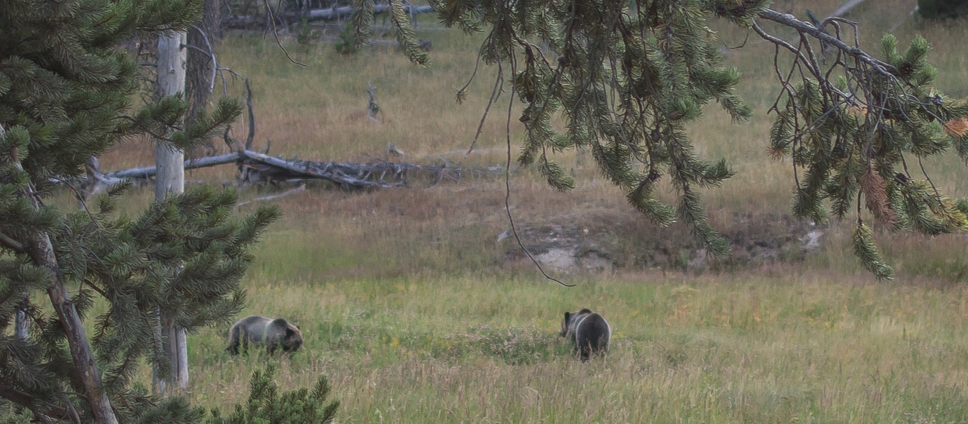 A pair of Grizzlies just off the side of the road.