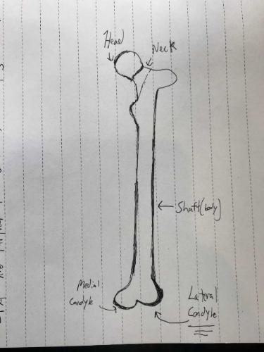Anterior View of Left Femur