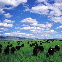 A Land of Grass Ranch - Conrad, Montana Grass Fed Beef