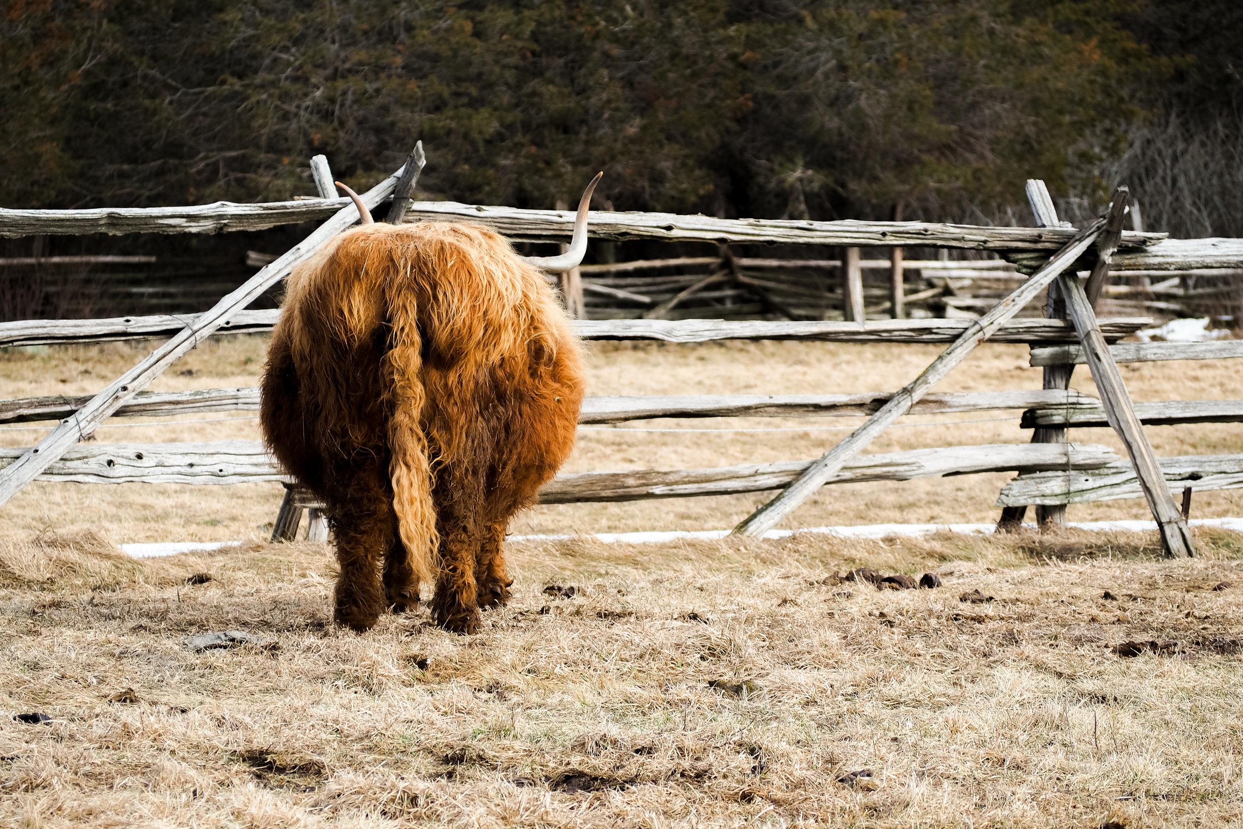 cowbutt.jpg