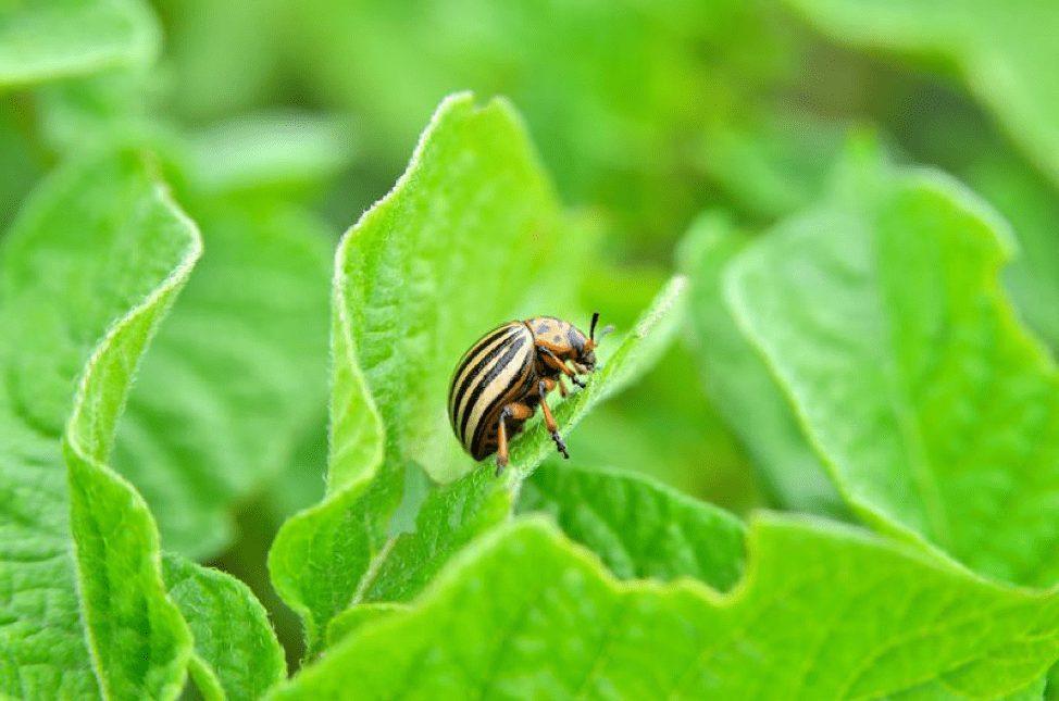 colorado-beetle.jpg