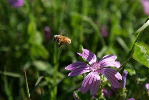 Honey Bee & Malo Flower.JPG