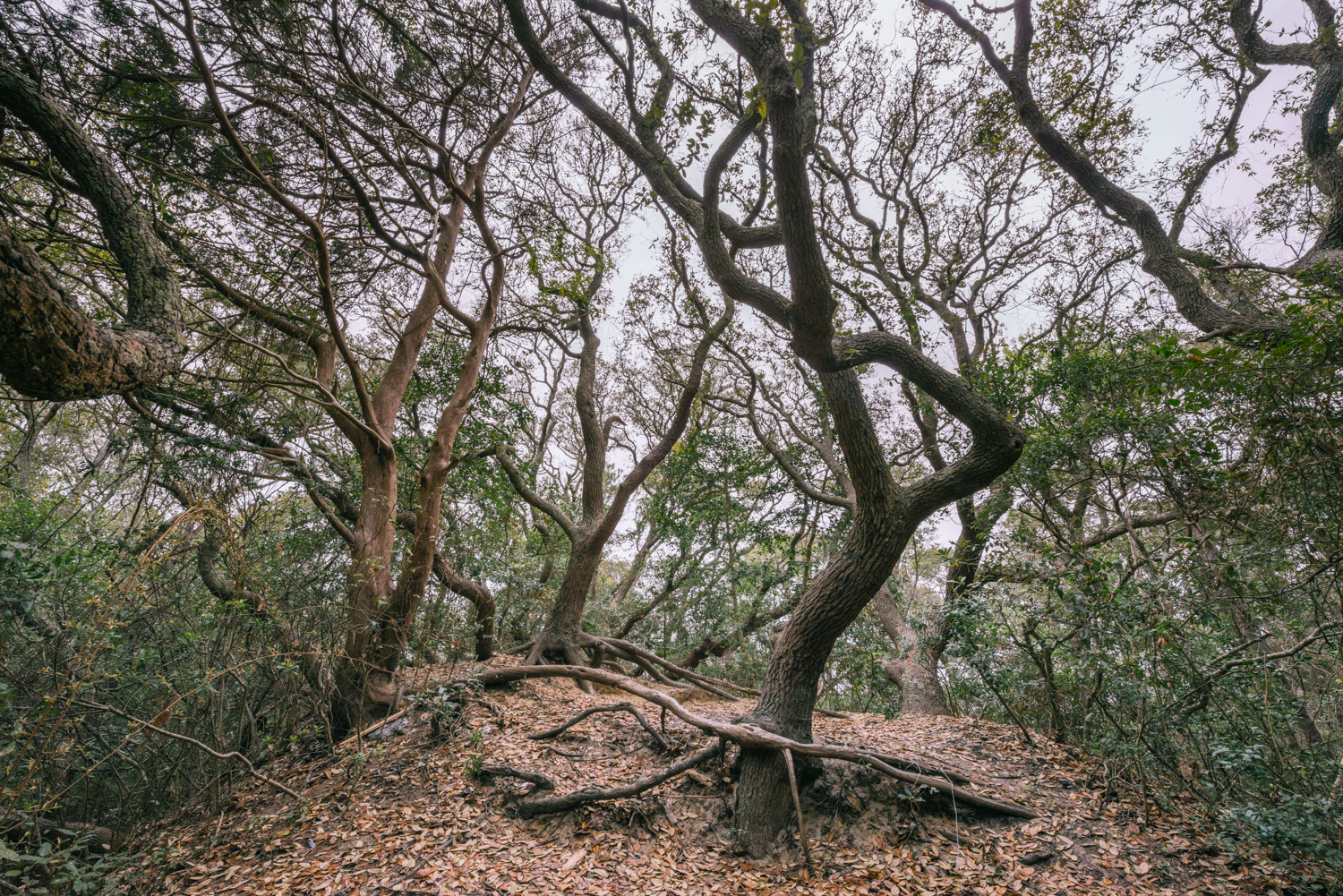 The dunes are home to many Live Oak trees. Some are believed to be hundreds of years old.