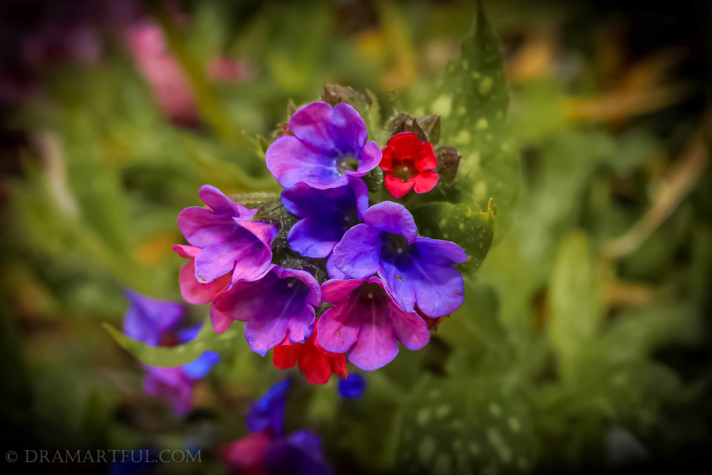 """Virginia bluebells are a special bunch. It was my favorite plant growing up. I was drawn to its vibrant pinks and purples peeking through the busy shrubbery.They are proudly glowing as a centerpiece in my little patch of dirt I call """"garden."""" Really, it's pathetic but some hardier stuff thrives even in heavy clay soil...when it doesn't get annihilated by the local wildlife =)"""