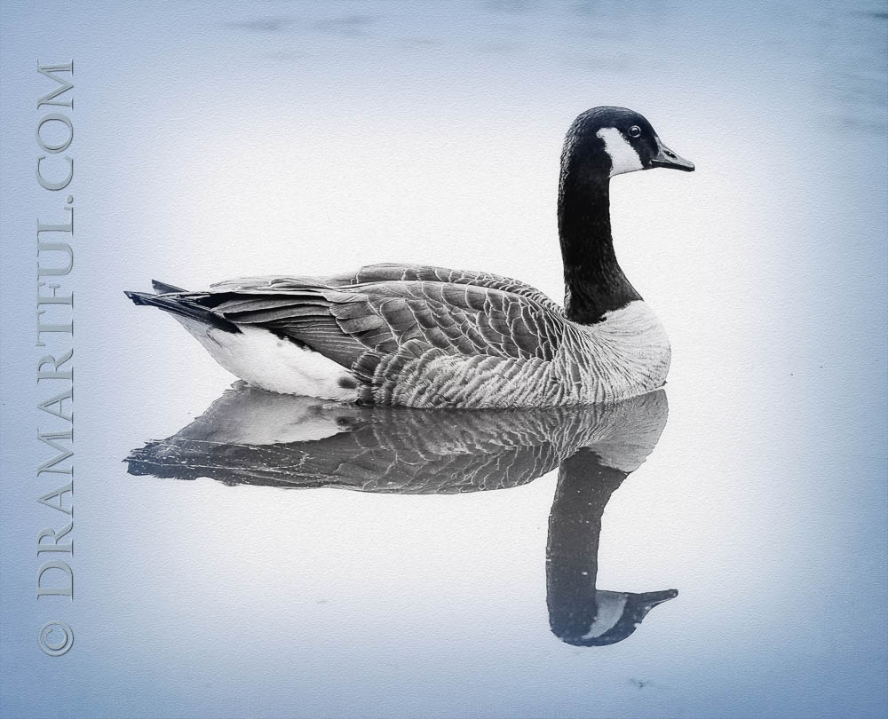 AMBIENCE AND TRANQUILITY - 2nd place in the November 2018 Ducks, Geese and Swans Only contest and other recognition.