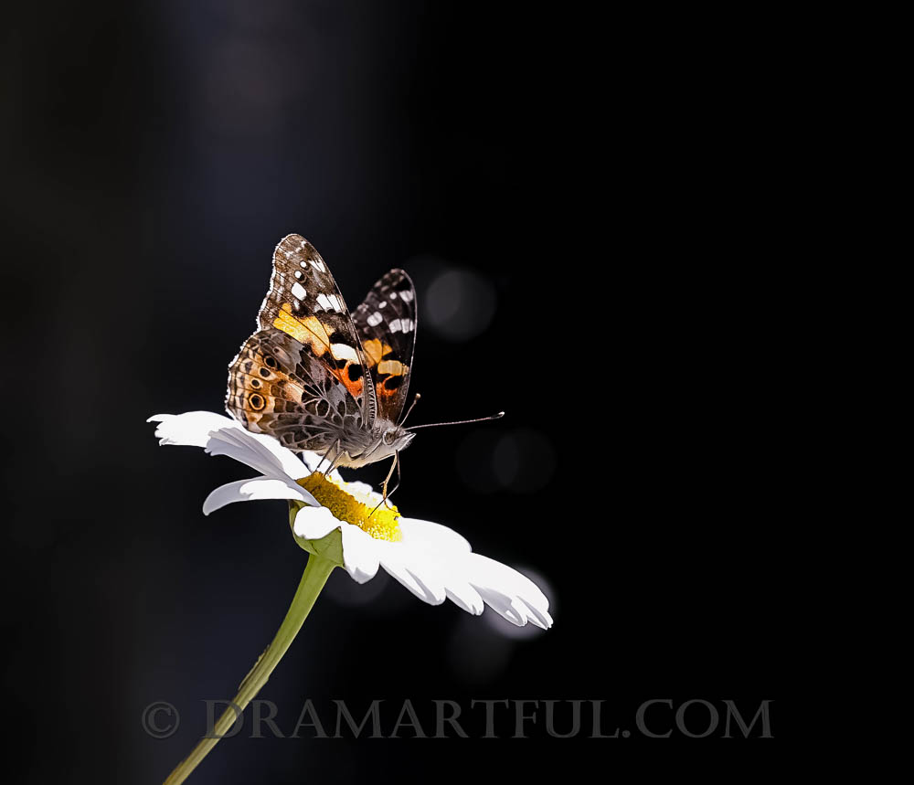 SUPERSTAR - 1st place in the July 2018 Bug Out Contest- The Best Photo Album; 3rd place in the April 2018 contest Black butterfly - Photography; 3rd place in the August 2018 contest My Summer Rocks Because I Read the Rules; 4th place in the October 2018 contest Butterfly Beauty.