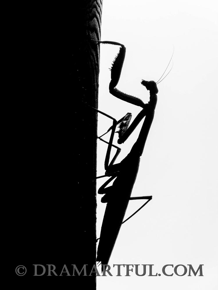 PRAYING MANTIS BW - This enigmatic creature tied for 2nd place in the 2018 Bug Out contest, 3rd in the 2019 Negative Space in Black and White Photographic, and finished top in several others.