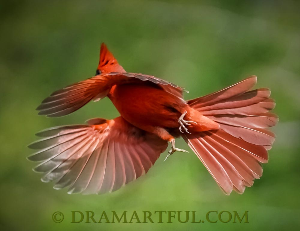 FULL SPEED AHEAD - A handsome fella on his way to claim 2nd place ties in 2018 contests Northern Cardinals in Flight and Birds Flying in the Sky.