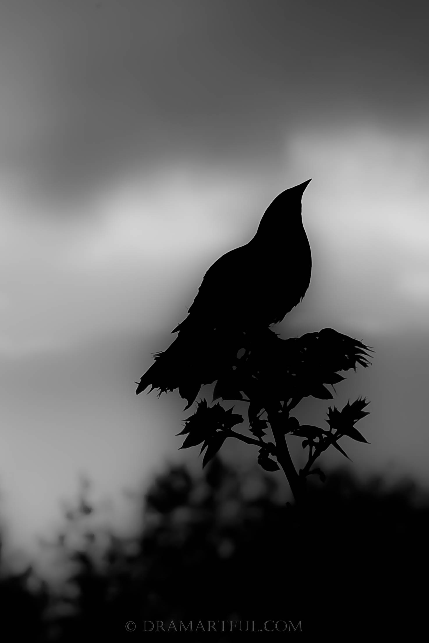 RED-WINGED BLACKBIRD SUNSET - 1st place in the Halloween Black and White.