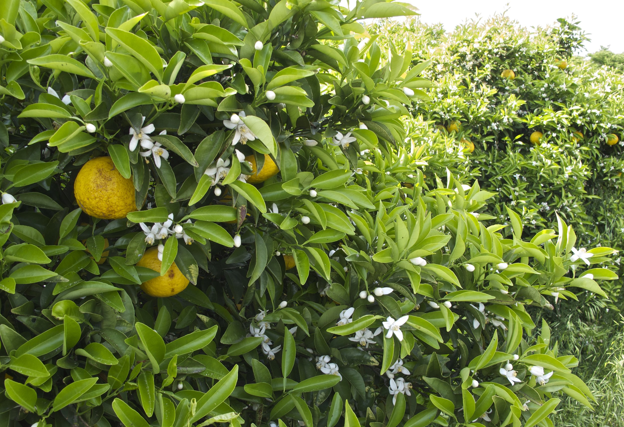 Amanatsu , a summer  mikan , ripening alongside their blossoms on Omishima Island in the Seto Inland Sea in June.