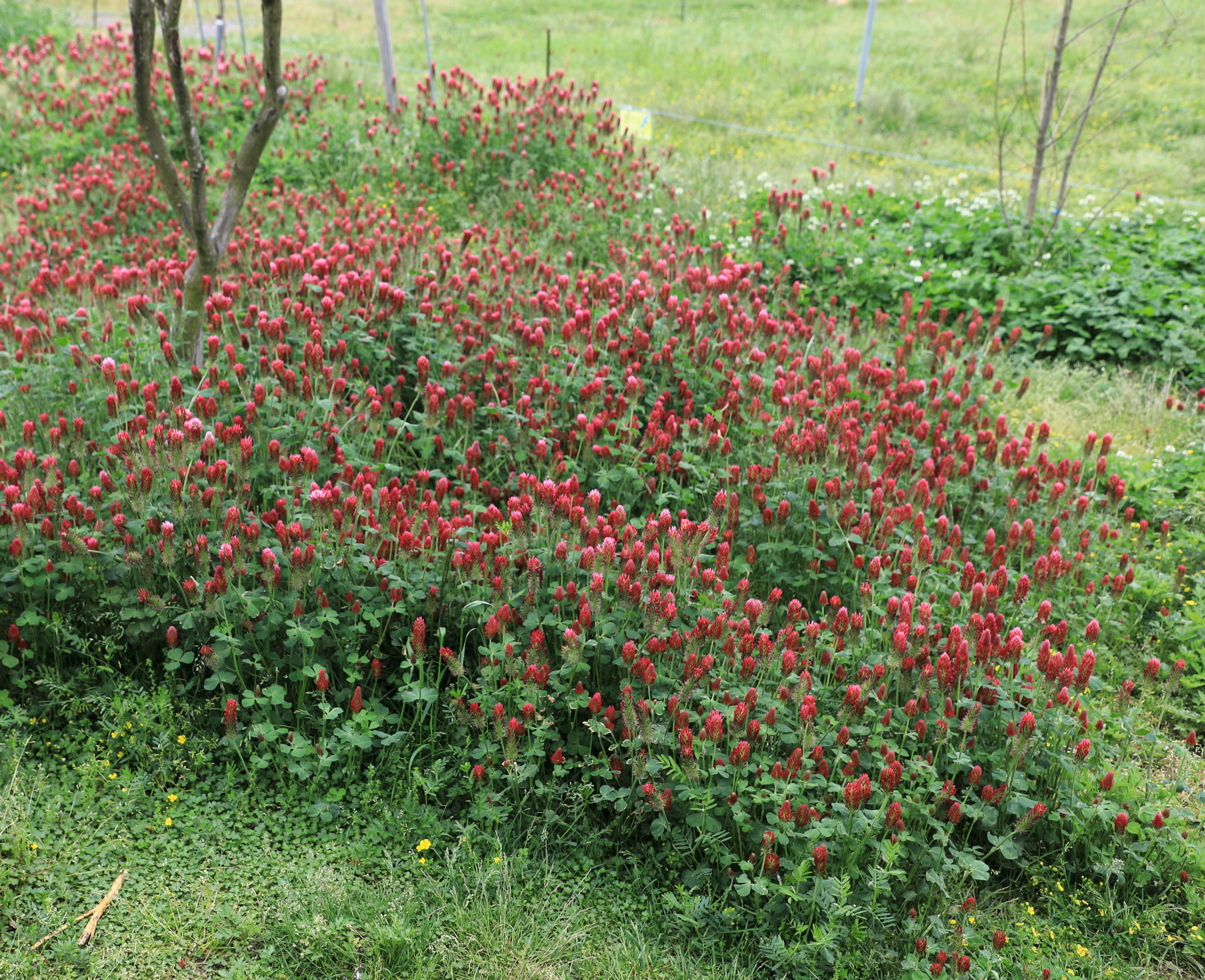 Rich red clover, Trifolium pratense , grows freely at the farm and provides tasty nourishment for the animals and also naturally fertilizes the land by fixing nitrogen in the soil.