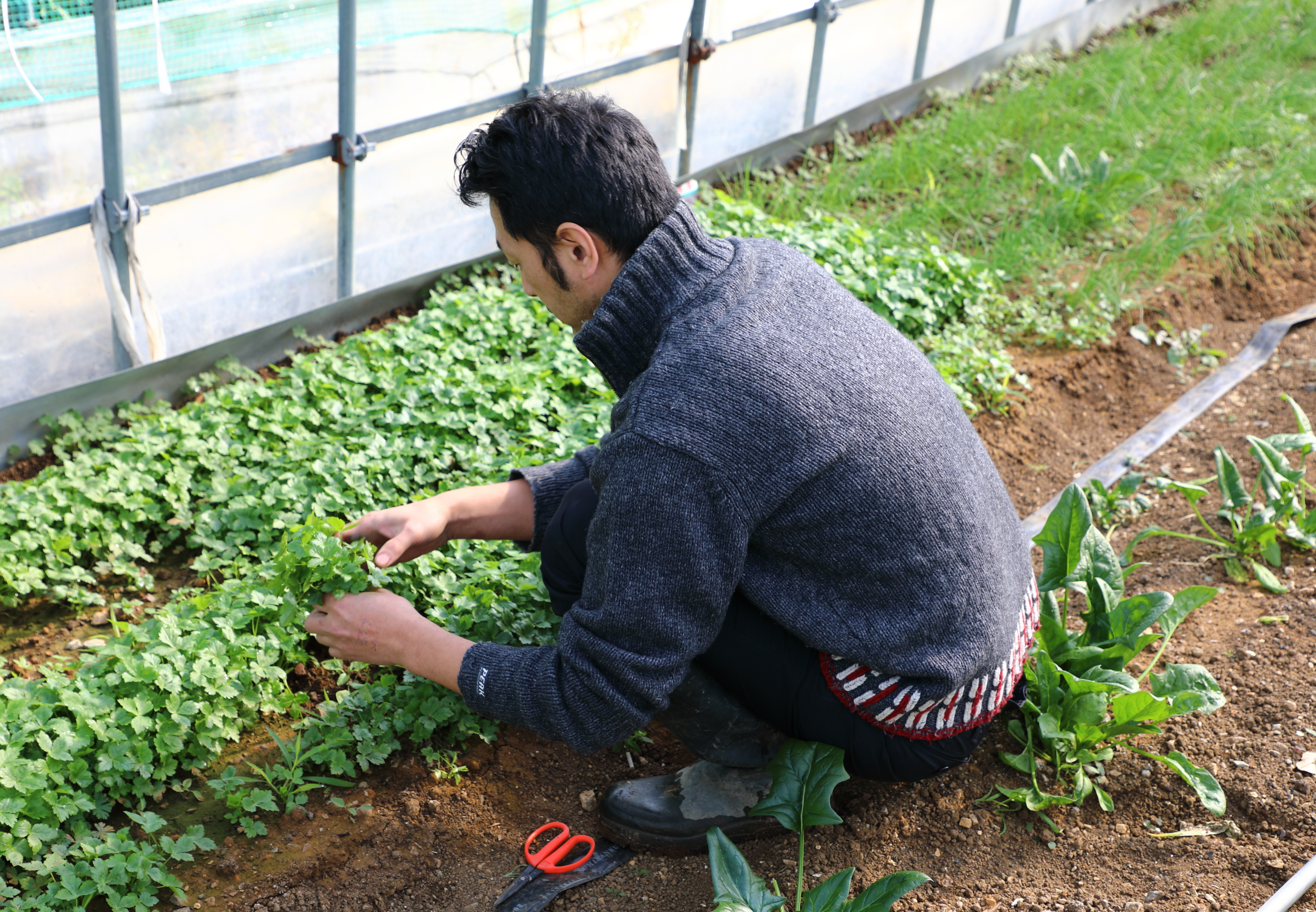 Shigeru gathering  mitsuba , an herb that will be used to season the evening's meal.