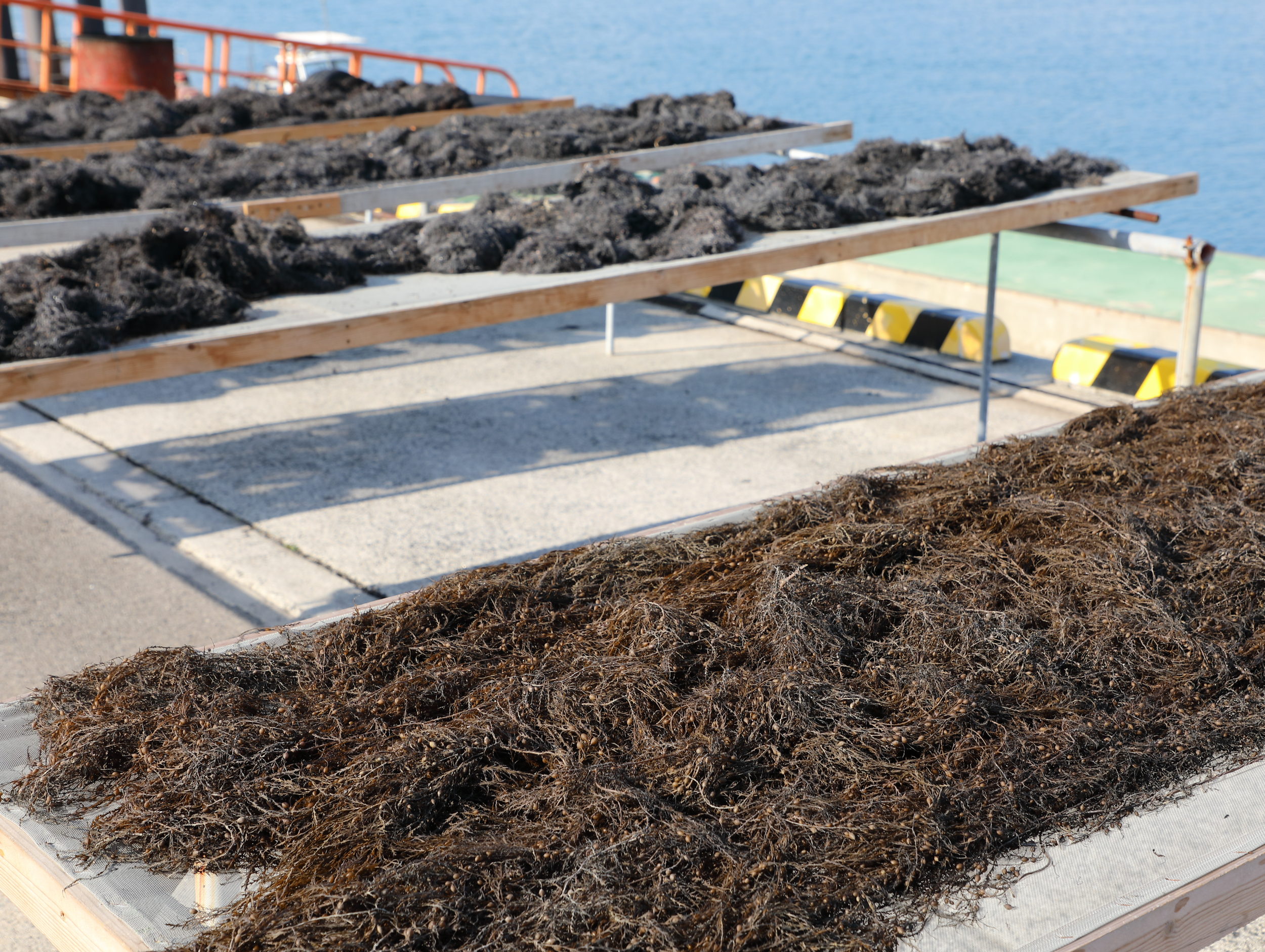 Freshly-harvested  hon'dawara  seaweed laid out on racks to dry naturally in the sun.