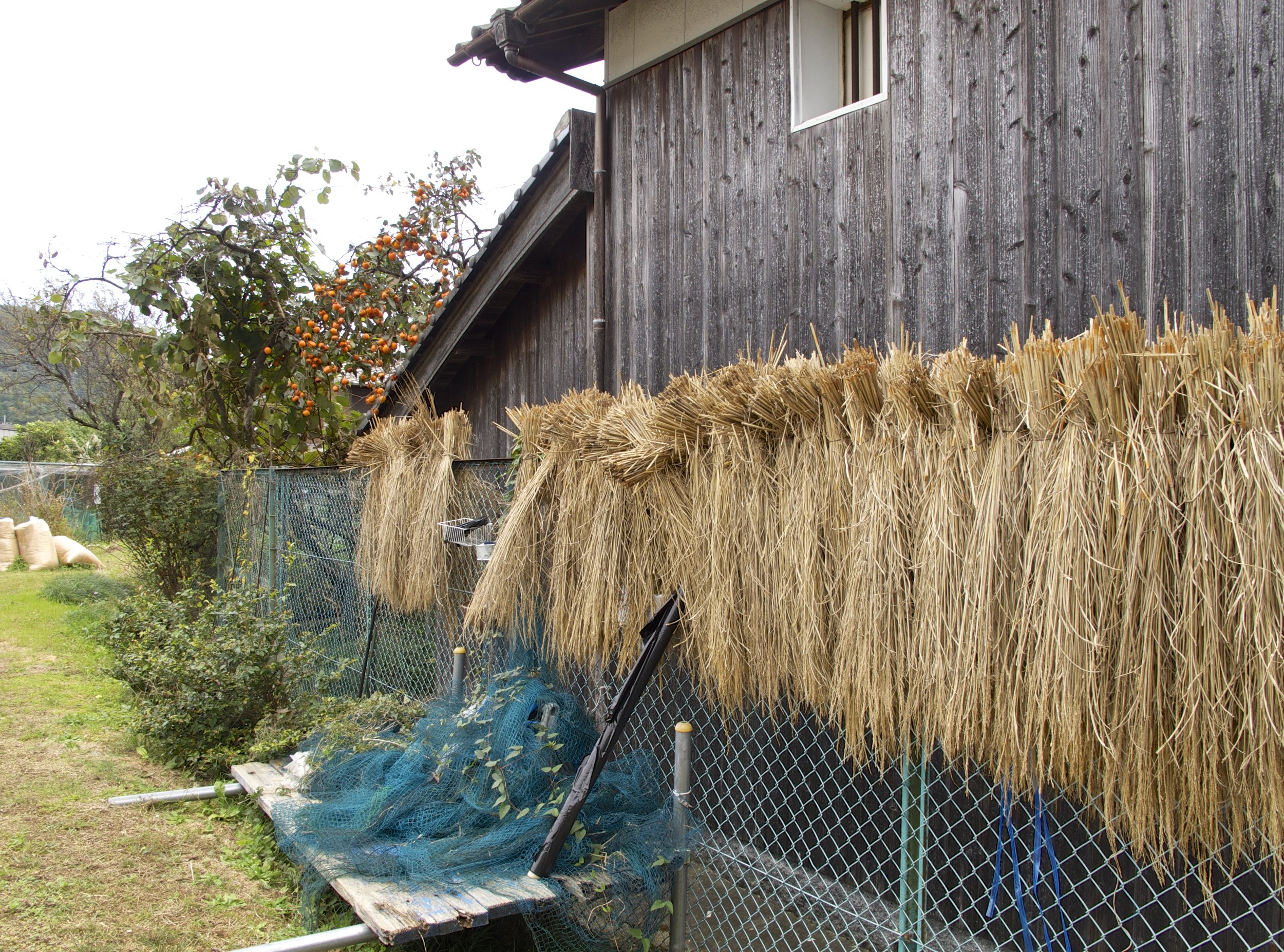 Harvested rice drying outside Iio Jozo's brewery before being made into sake and then fermented again to become rice vinegar.