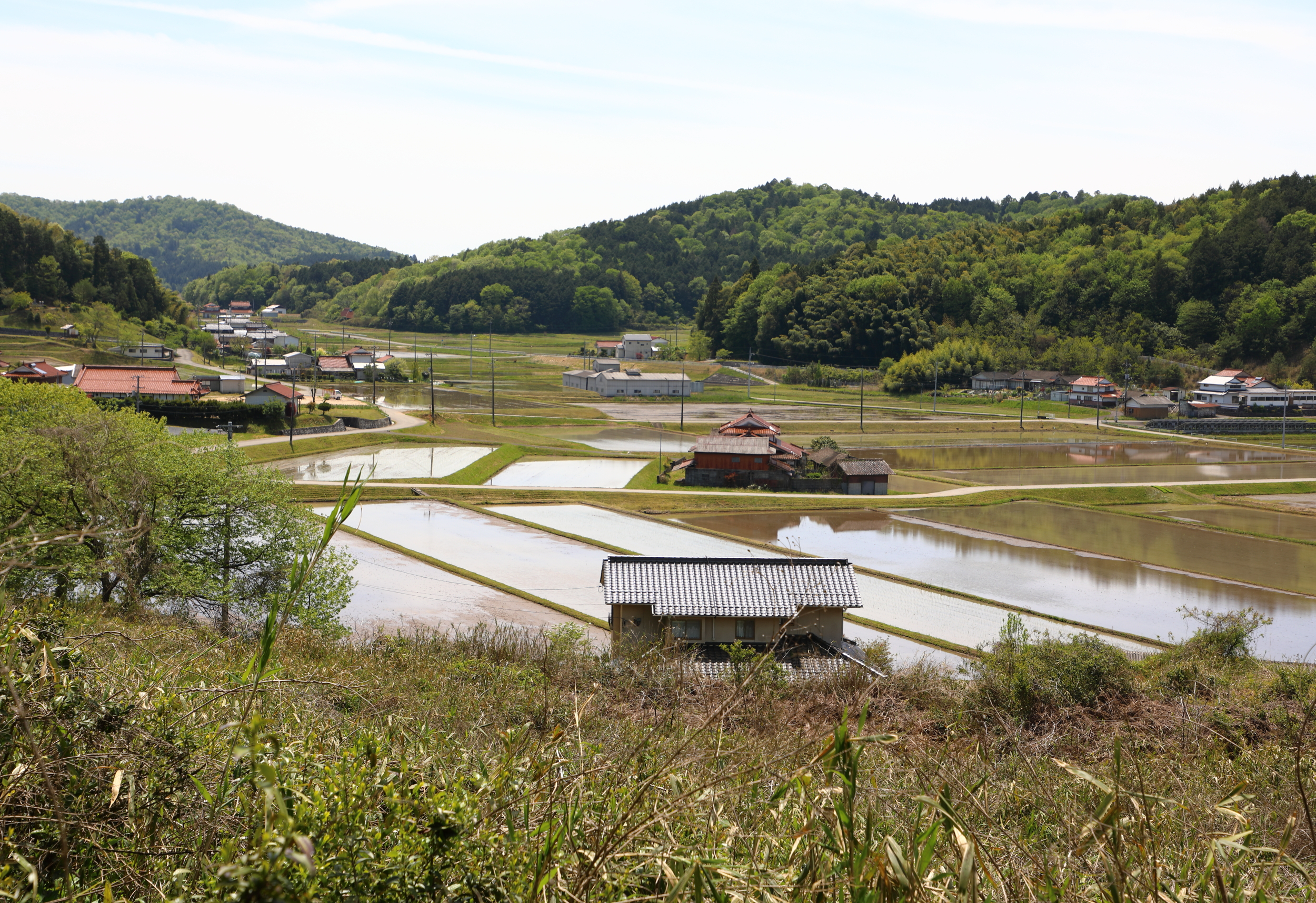 Genki's tea farm is surrounded by other small family farms like these rice farms located at the bottom of his tea field.