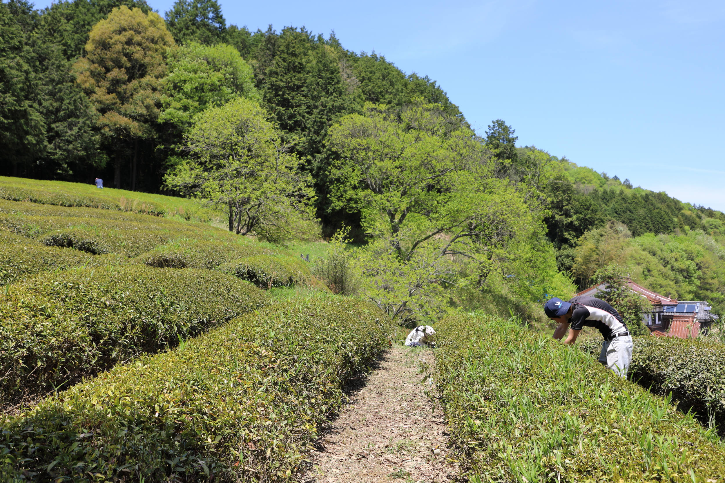 Genki in the far distant right and two friends weeding and tending the tea field in preparation for harvesting the first flush of green tea, called  shincha , in late May.